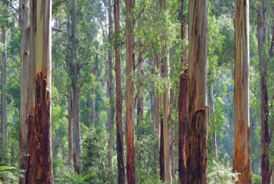 Eucalyptus Plantations: A Boon for Farmers and the Paper & Plywood Industry